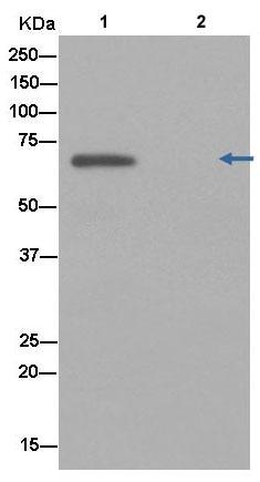Immunoprecipitation - Anti-ZPI antibody [EPR12072] (ab181132)