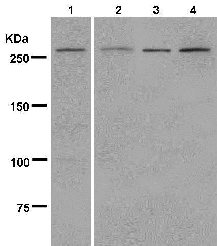 Western blot - Anti-MUC1 antibody [EPR1025(2)] (ab181133)