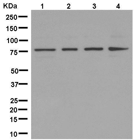 Western blot - Anti-BBS2 antibody [EPR13183] (ab181134)