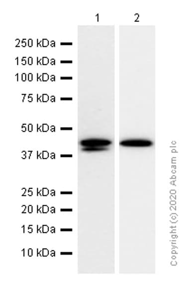 Western blot - Anti-DDB2 antibody [EPR9811] (ab181136)
