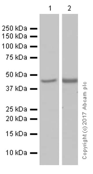 Western blot - Anti-COUP TF1 antibody [EPR10841] (ab181137)