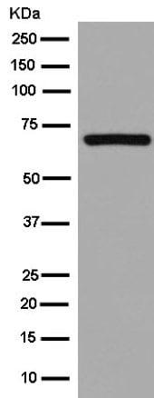 Western blot - Anti-CoREST antibody [EPR13826(B)] (ab181139)