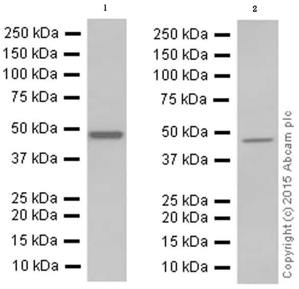 Western blot - Anti-NPHS2 antibody [EPR13820] (ab181143)