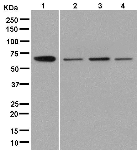 Western blot - Anti-G3BP antibody [EPR13985(B)] (ab181149)