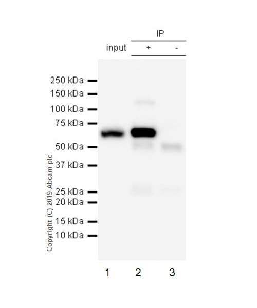Immunoprecipitation - Anti-G3BP antibody [EPR13986(B)] (ab181150)