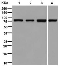 Western blot - Anti-NOL10 antibody [EPR14073-9] (ab181161)