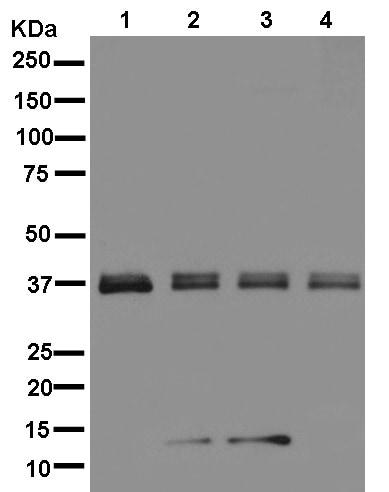 Western blot - Anti-TMUB2 antibody [EPR13741] (ab181183)
