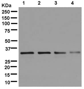 Western blot - Anti-RPB3 antibody [EPR13300(B)] - C-terminal (ab181193)