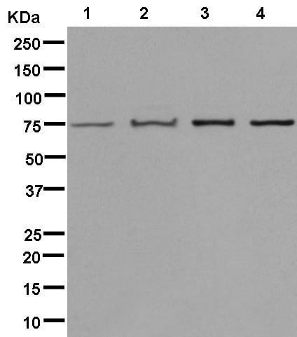 Western blot - Anti-CPSF6 antibody [EPR12899] (ab181221)