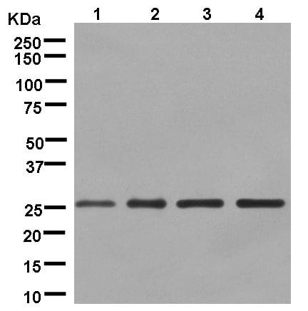 Western blot - Anti-DCUN1D1 antibody [EPR13492] (ab181233)