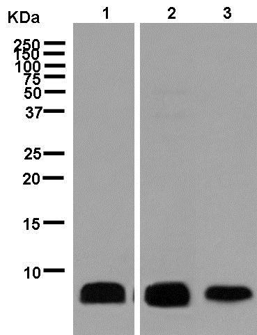 Western blot - Anti-ATP synthase C antibody [EPR13907] (ab181243)