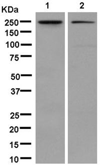 Western blot - Anti-DEP1 antibody [EPR13398] (ab181244)
