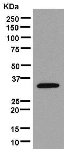 Western blot - Anti-MRPL1 antibody [EPR14060] (ab181248)