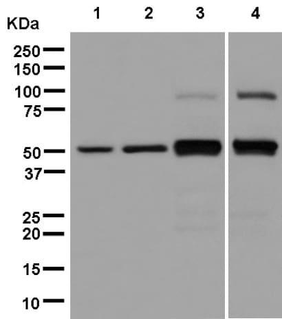 Western blot - Anti-PEG10/EDR antibody [EPR8156(2)] (ab181249)