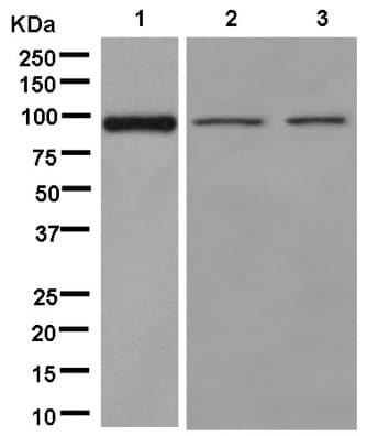 Western blot - Anti-Neuroligin 4 antibody [EPR13108] (ab181251)