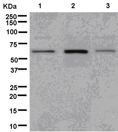 Western blot - Anti-DUS2L antibody [EPR14042] (ab181262)
