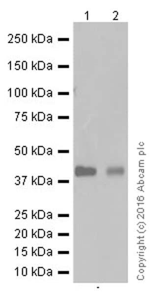 Western blot - Anti-RAGE antibody [EPR16849-75] (ab181293)