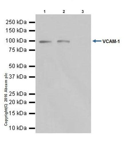 Immunoprecipitation - Anti-VCAM1 antibody [EPR17010-83] (ab181315)