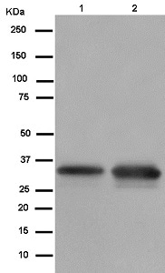 Western blot - Anti-Heterogeneous Nuclear Ribonucleoprotein (A1-like) antibody [EPR13673-33] (ab181337)