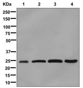 Western blot - Anti-C21orf33 antibody [EPR13213] (ab181366)