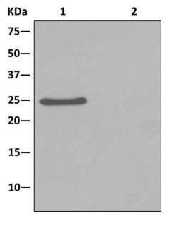 Immunoprecipitation - Anti-C21orf33 antibody [EPR13213] (ab181366)