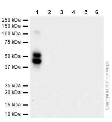 Western blot - Anti-RAGE antibody [EPR12205] (ab181369)