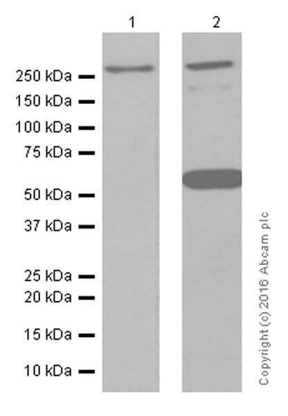 Western blot - Anti-CACNA1A antibody [EPR4458(N)] (ab181371)