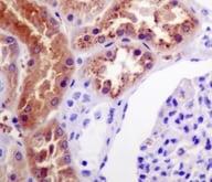Immunohistochemistry (Formalin/PFA-fixed paraffin-embedded sections) - Anti-Klotho antibody [EPR6856] (ab181373)