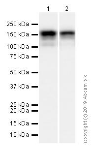 Western blot - Anti-53BP2/ASPP2/BBP antibody [EPR13837] (ab181377)