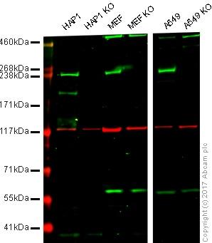 Western blot - Anti-LRRK2 antibody [MJFF5 (68-7)] (ab181386)