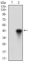 Western blot - Anti-OC-3 antibody [10B2F5] (ab181450)