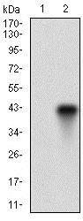 Western blot - Anti-FUT4 antibody [6B11B4] (ab181461)