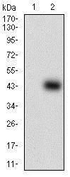 Western blot - Anti-SOX10 antibody [2E7B5] (ab181466)