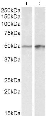 Western blot - Anti-E2F4 antibody (ab181483)