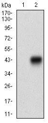 Western blot - Anti-CDX2 antibody [3G9B9] (ab181488)