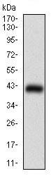 Western blot - Anti-MEF2A antibody [2F9H2] (ab181494)
