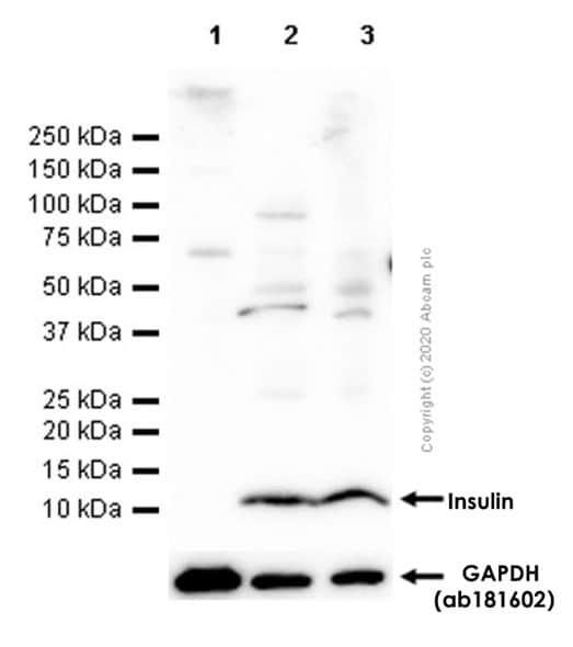 Western blot - Anti-Insulin antibody [EPR17359] (ab181547)