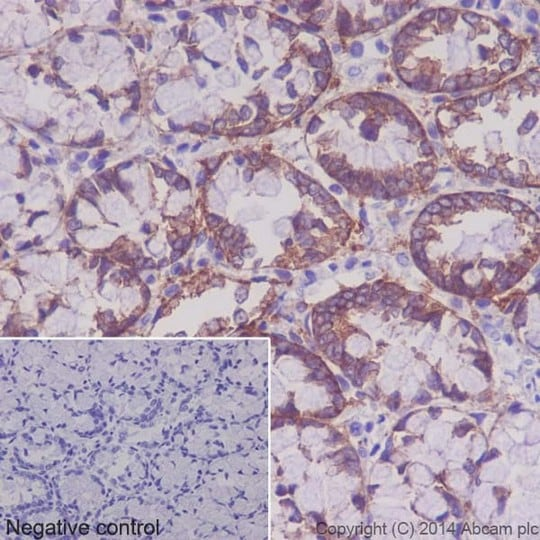Immunohistochemistry (Formalin/PFA-fixed paraffin-embedded sections) - Anti-Integrin alpha 2 antibody [EPR17338] - C-terminal (ab181548)
