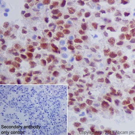 Immunohistochemistry (Formalin/PFA-fixed paraffin-embedded sections) - Anti-Oct4 antibody [EPR17929] - ChIP Grade (ab181557)