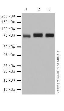 Western blot - Anti-PKC antibody [EPR17368] (ab181558)