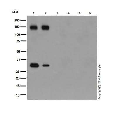 Western blot - Anti-Pan Trk antibody [EPR17341] (ab181560)
