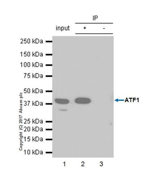 Immunoprecipitation - Anti-ATF1 antibody [EPR17028] (ab181569)