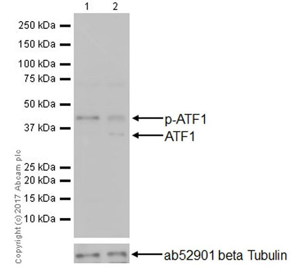 Western blot - Anti-ATF1 antibody [EPR17028] (ab181569)