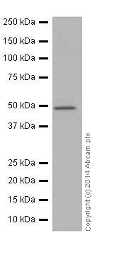 Western blot - Anti-Cyclin A2 antibody [EPR17351] (ab181591)