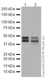 Western blot - Anti-Cytokeratin 18 antibody [EPR17347] (ab181597)