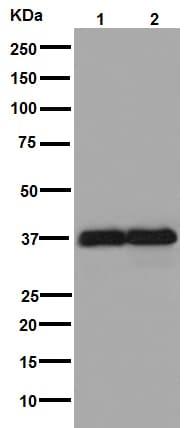 免疫印迹-抗GAPDH抗体[EPR16891]-负载控制(ab181602)