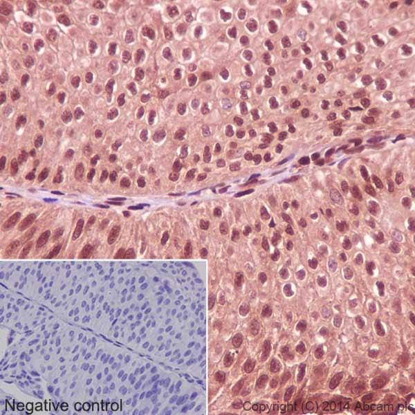 Immunohistochemistry (Formalin/PFA-fixed paraffin-embedded sections) - Anti-GAPDH antibody [EPR16884] - Loading Control (ab181603)