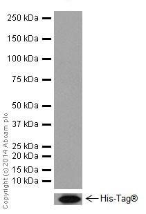 Western blot - Anti-HNF-4-alpha antibody [EPR16885] - ChIP Grade (ab181604)