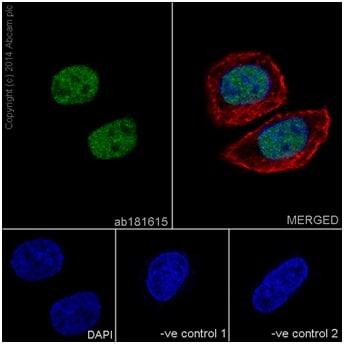 Immunocytochemistry/ Immunofluorescence - Anti-JunD antibody [EPR17365] (ab181615)