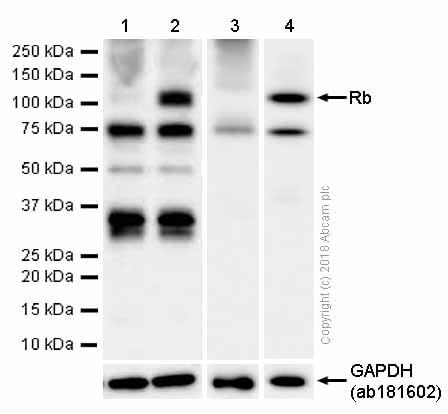 Western blot - Anti-Rb antibody [EPR17512] (ab181616)